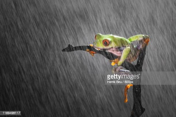 frog in rain - tree frog stock pictures, royalty-free photos & images