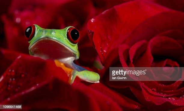 frog in red roses - ian gwinn stock photos and pictures