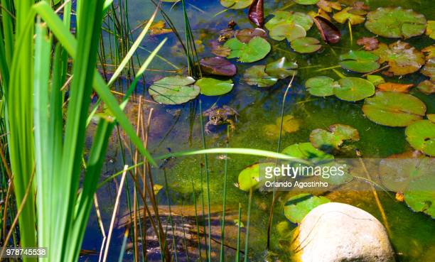 frog in the lake - file:the_wyoming,_orlando,_fl.jpg stock pictures, royalty-free photos & images