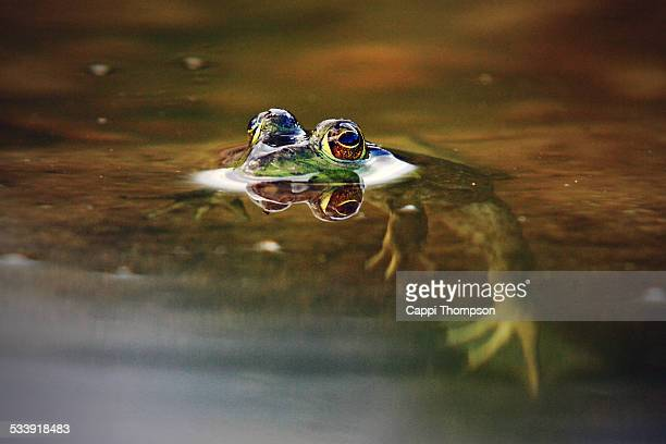 frog in water - cappi thompson stock pictures, royalty-free photos & images