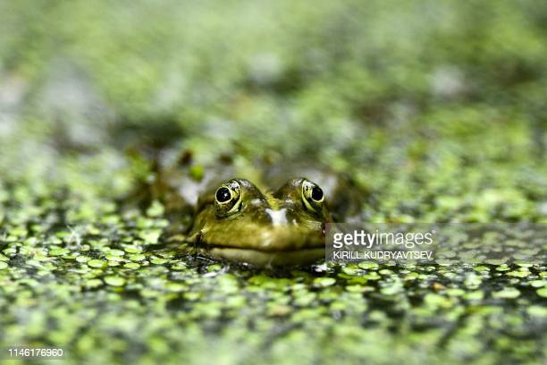 Frog is pictured in a pond in a park in Moscow on May 25, 2019.