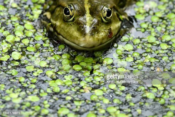A frog is pictured in a pond in a park in Moscow on May 25 2019