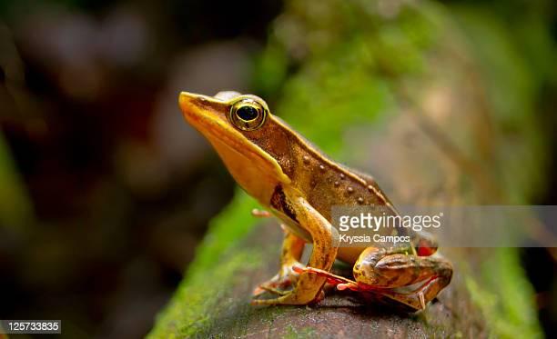 Frog lithobates warszewitschii