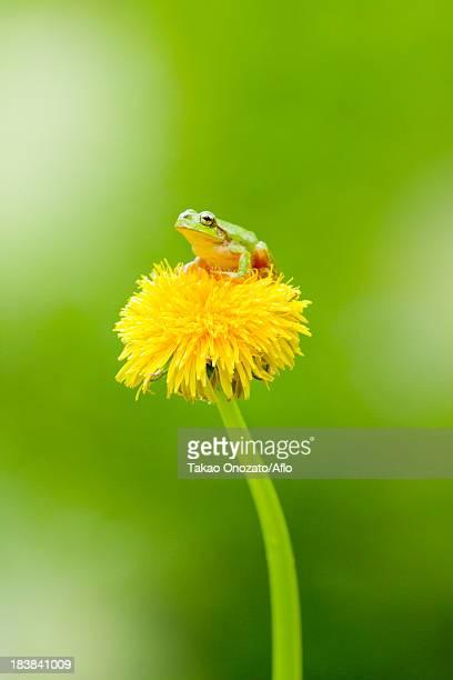 Frog on a Dandelion flower