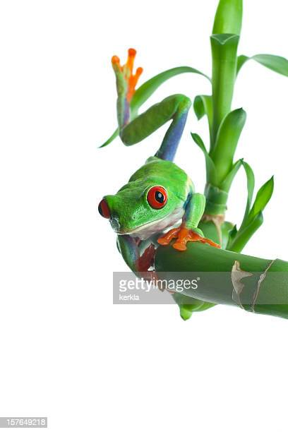 frog ( agalychnis callydryas ) on a green bamboo stem - tree frog stock pictures, royalty-free photos & images