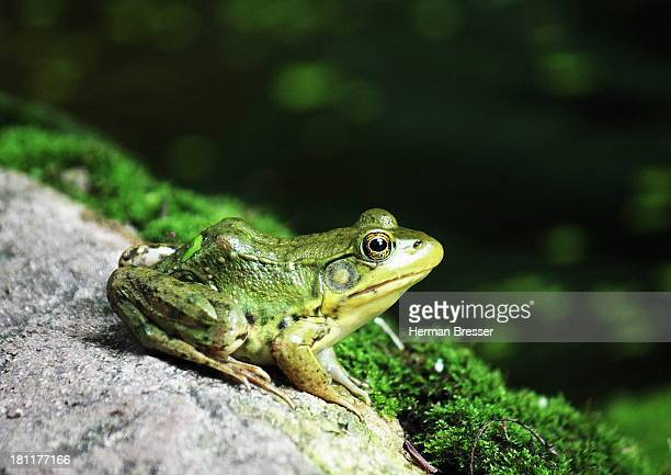 frog on a rock pondering - bullfrog stock pictures, royalty-free photos & images