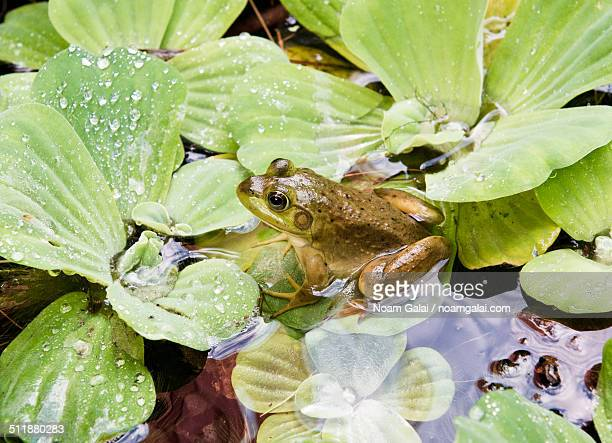 frog on a water plant - noam galai stock pictures, royalty-free photos & images