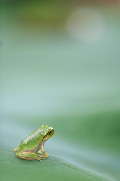 Frog on leaf of lotus