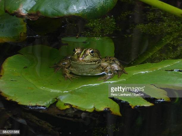 frog on leaf - lienhard stock pictures, royalty-free photos & images