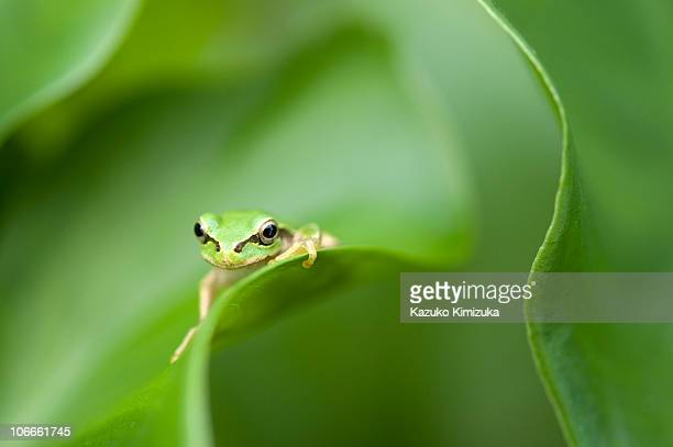 a frog on the leaf - kazuko kimizuka stock-fotos und bilder