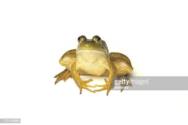 frog on white - bullfrog stock pictures, royalty-free photos & images