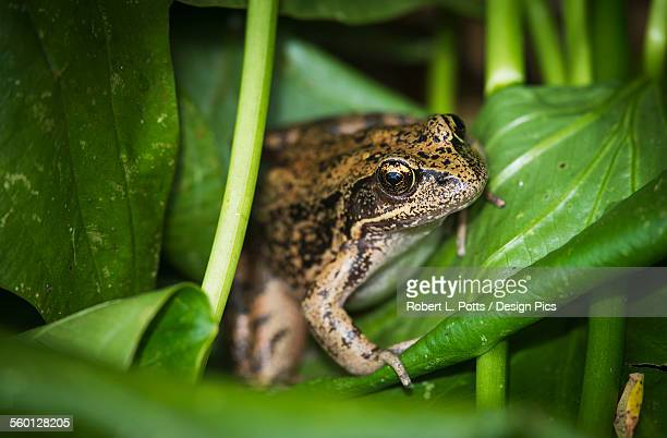 A frog perches on wapato leaves