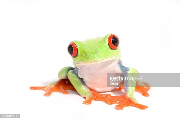 frog (agalychnis callidryas) - tree frog stock pictures, royalty-free photos & images