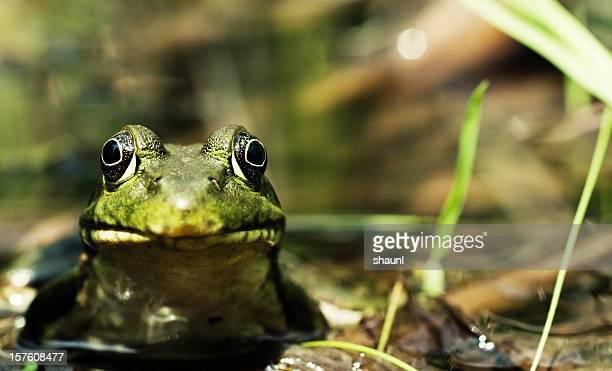 frog - bullfrog stock pictures, royalty-free photos & images