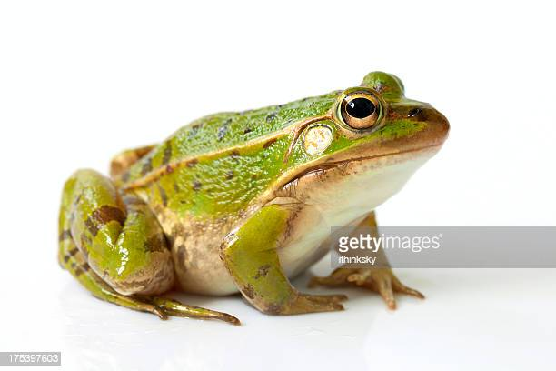 frog - Images Of Frogs