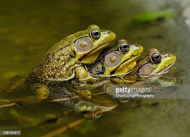 Frog Sex Amphibian Piggyback Mating