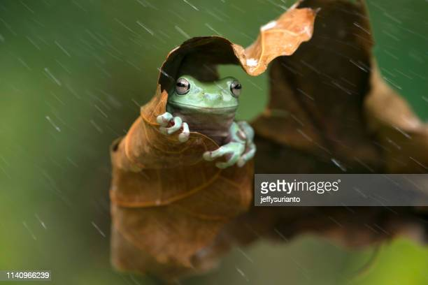 frog sheltering under a leaf in the rain, indonesia - pluie humour photos et images de collection