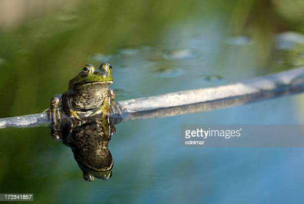 Frog Sits on Branch in a Mirrored Pool
