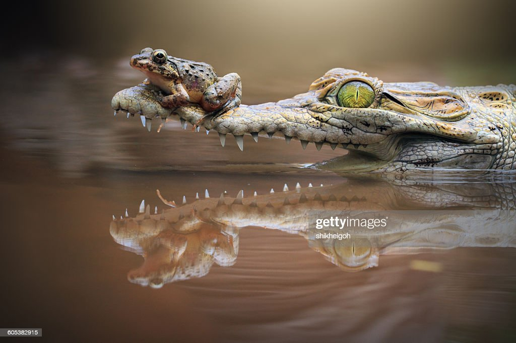 Frog sitting on a crocodile snout, riau islands, indonesia : Stock Photo