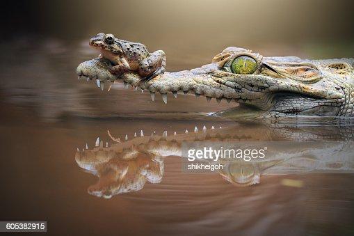 Frog sitting on a crocodile snout, riau islands, indonesia