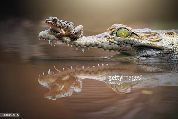 Frog sitting on a crocodile snout, riau islands, indonesia