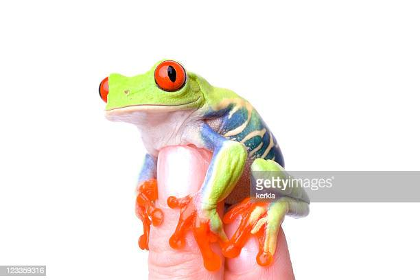 frog (agalychnis callidryas) sitting on a human finger tip - animal finger stock photos and pictures
