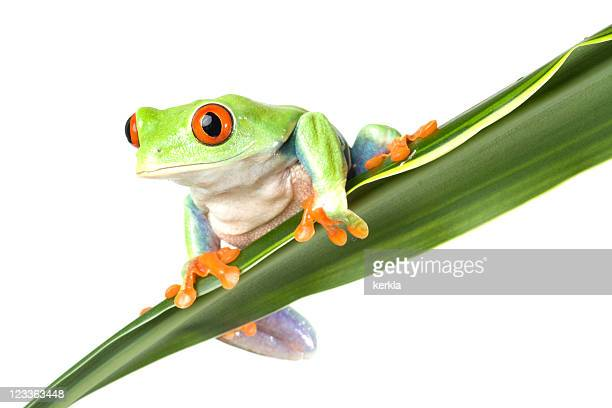 frog (agalychnis callidryas) sitting on a plant - tree frog stock pictures, royalty-free photos & images