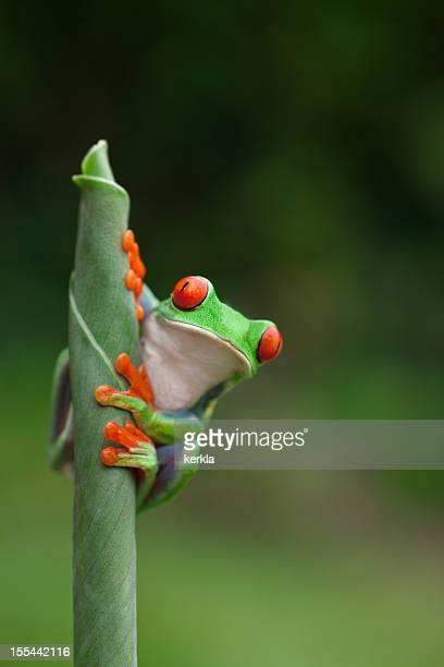 frog (agalychnis callidryas) sitting on a plant