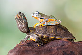 Frog sitting on a turtle
