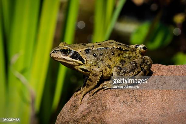 frog sitting on rock, scotland, uk - frog stock pictures, royalty-free photos & images