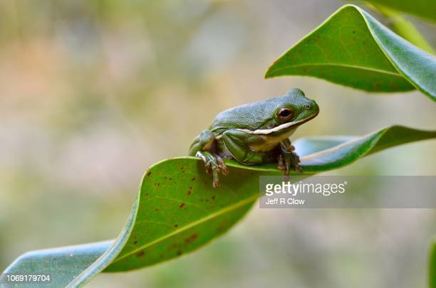 frog sitting on the edge of a leaf in the forest - tree frog stock pictures, royalty-free photos & images