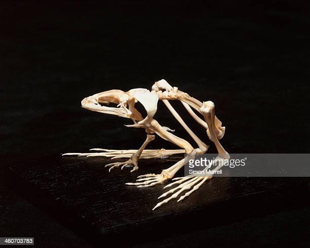 frog skeleton, studio shot - animal skeleton stock photos and pictures