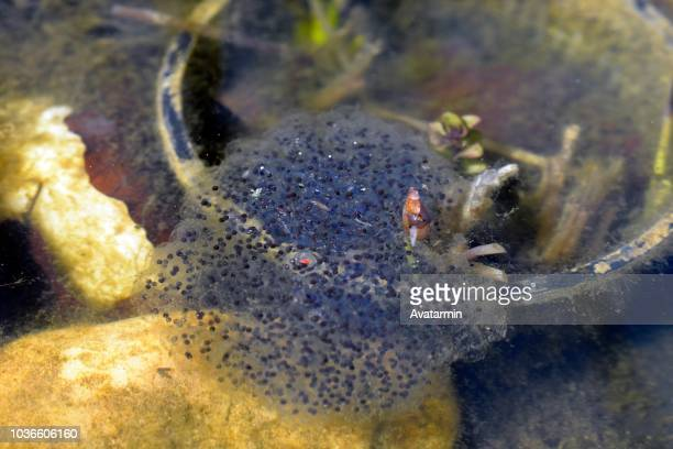 frog spawn in pond
