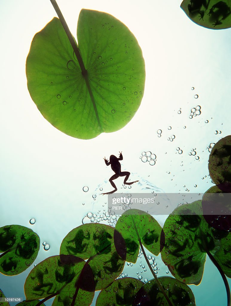 Frog swimming between lilly pads with other frogs on, underwater view : Stock Photo