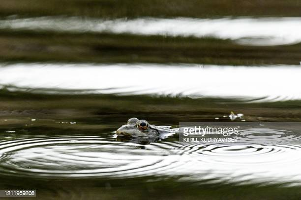 Frog swims in the water of a pond in a park in the outskirts of Moscow on May 6, 2020.