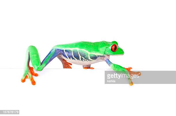 frog walking on an edge - tree frog stock pictures, royalty-free photos & images