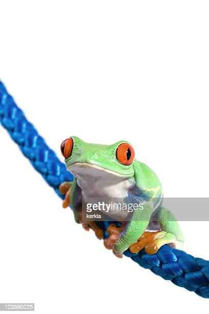 frog ( agalychnis callydryas ) with blue rope - tree frog stock pictures, royalty-free photos & images