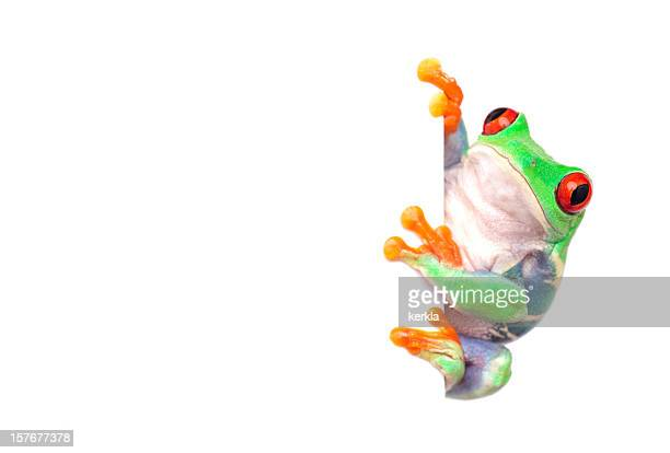 frog with white placard for messages - tree frog stock pictures, royalty-free photos & images