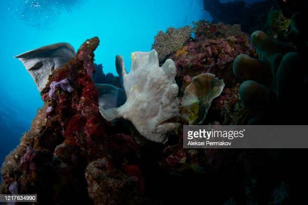 frogfish on the corals - アンコウ ストックフォトと画像