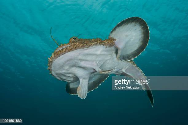 frog-fish or angler fish (lophius piscatorius) under the surface of water, norwegian sea, northern atlantic, norway - アンコウ ストックフォトと画像