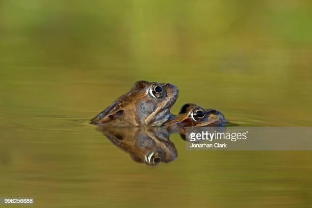 froggy-back-ride - huevos de rana fotografías e imágenes de stock
