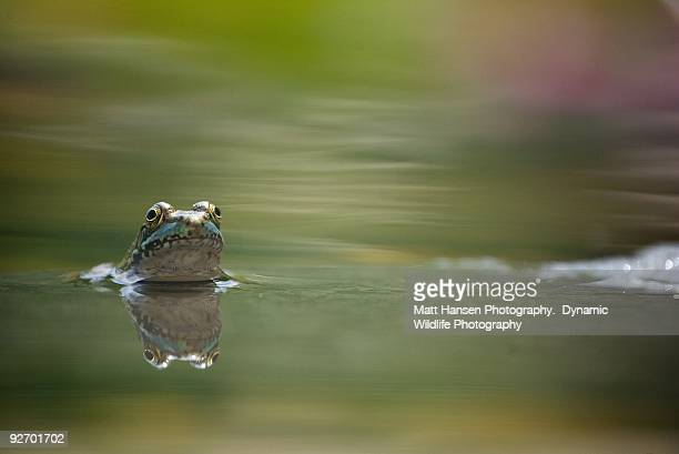 a frog's curiosity - midland michigan stock pictures, royalty-free photos & images