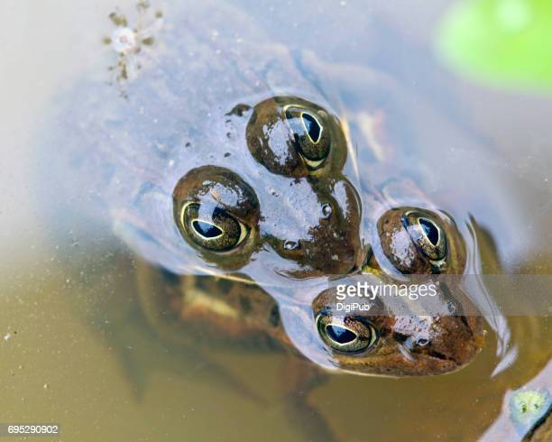 Frogs mating in the water of rice paddy