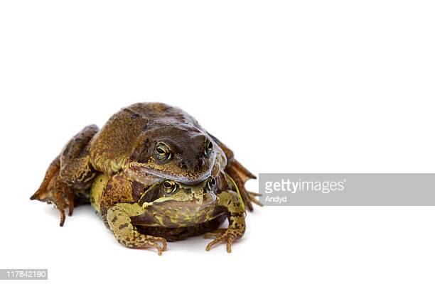 rane - accoppiamento animale foto e immagini stock