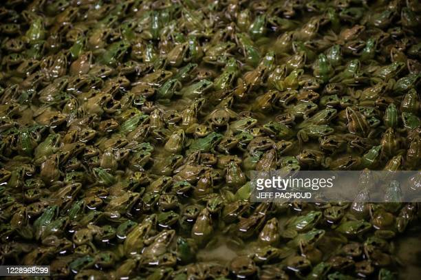 Frogs stand in a pond in a frog farm in Pierrelatte, south of Lyon, on September 30, 2020. - French people eat around 4,000 tons of frogs each year,...