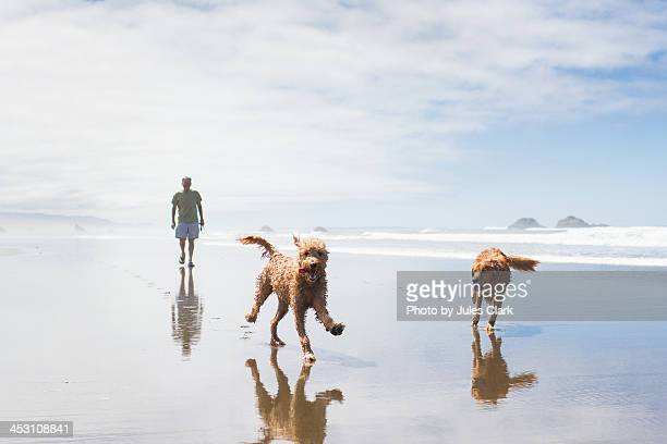 frolicking on the beach with dogs - goldendoodle stock-fotos und bilder