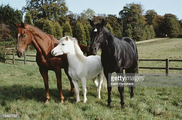 From left to right the horses playing Ginger Merrylegs and Black Beauty in the film 'Black Beauty' 1994