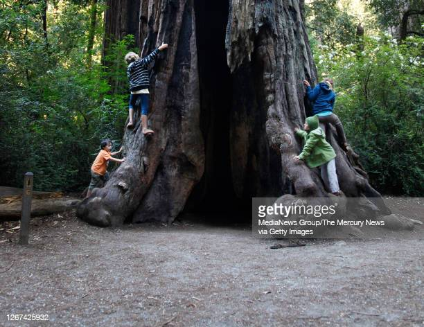 From left, Tobias Kushner Elli Swanson-Dexel her sisters Phoenix and Ocean of Santa Cruz climb a burnt out redwood tree, Sequoia sempervirens, while...