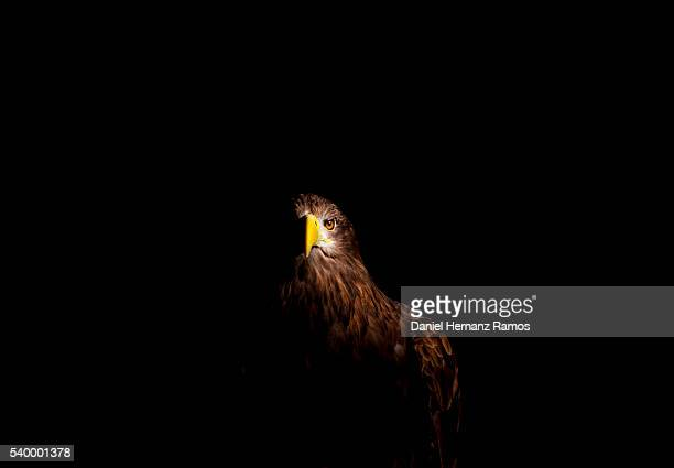 From the dark. White-tailed eagle. Haliaeetus albicilla