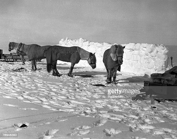 From the Ponting Collection Captain Robert Falcon Scott Photographer Scotts Antarctic Expedition 1910 1912 A group of ponies on the snow